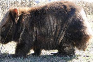 Wombat Rescue